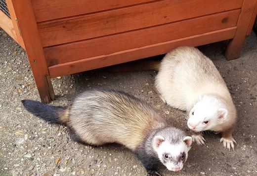 STUNNING AND FRIENDLY FERRETS FOR SALE
