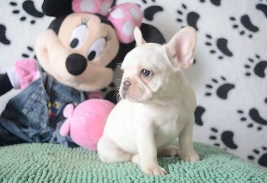 French Bulldog Amazing French Bulldog puppies for new homes!!
