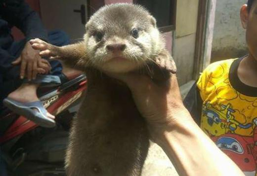 ASIAN SMALL CLAWED OTTERS FOR SALE AS PET ONLY