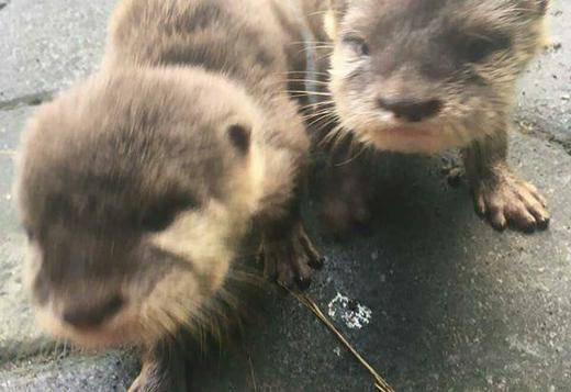 Asian Small Clawed Otters For Sale Text Or Call 7253335192