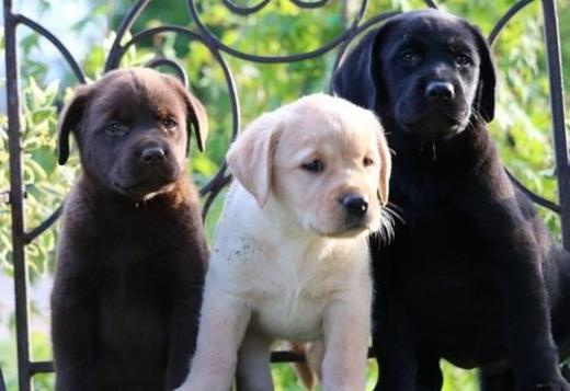 Labrador Retriever Healthy Labrador Retriever Puppies.