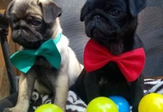 Pug Quality Pug Puppies Available..