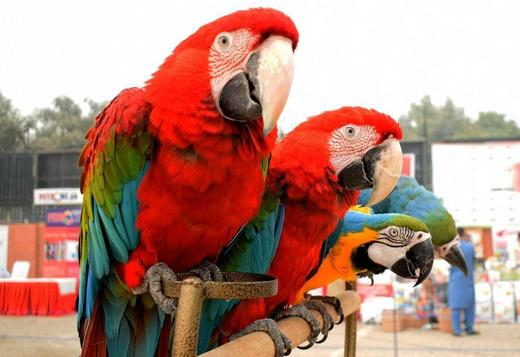 Scarlet Male and Female Macaw birds