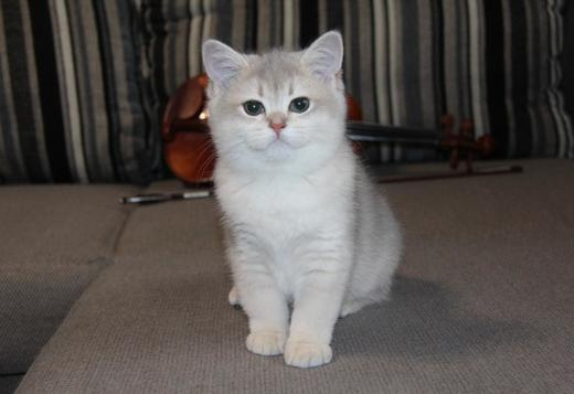 British Shorthair white female british short hair kitten