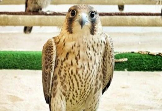 Lanner falcons for sale