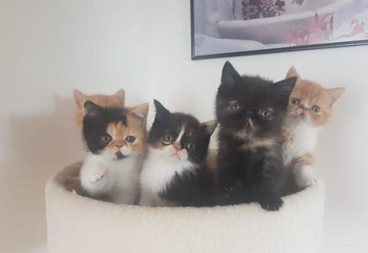 Exotic 11 weeks old exotic shorthair kittens available