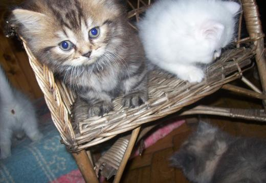 Persian Persian cats for sale