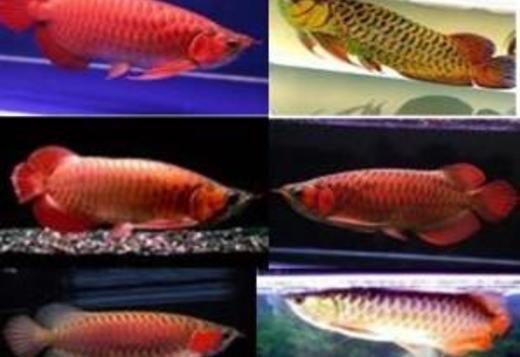 Arowana fishes for sale; Super red, 24k Gold, Crossback, Silver, Plati