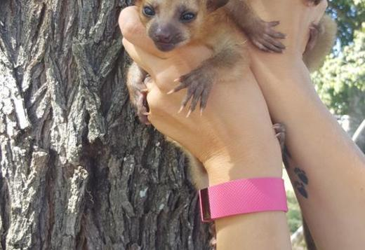 Male and Female Pair, Kinkajou babies