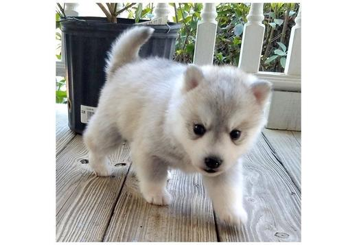 Siberian Husky Pomsky and Siberian Husky Puppies Available