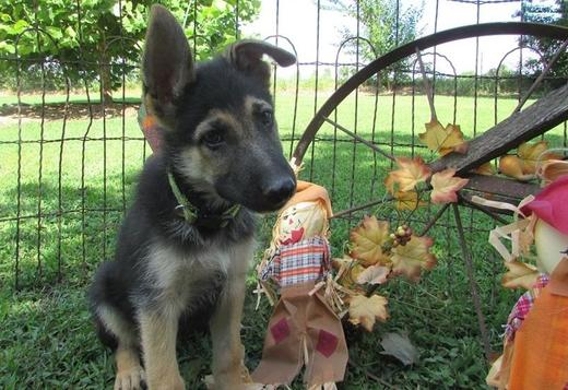 German Shepherd Dog Male and Female German Shepherd puppies