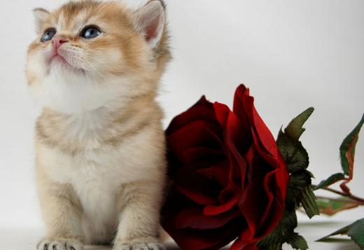 British Shorthair Beautiful British Shorthair TICA Registered Kittens