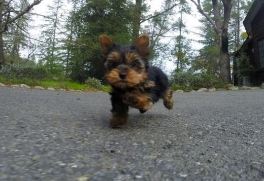 Yorkshire Terrier available Teacup Yorkie Pups Available .