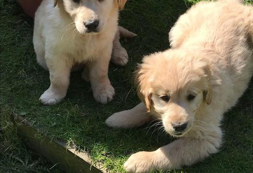 Beautiful Kc Reg Male and Female golden retriever pups Fully Health Te