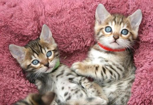 Bengal 100% trained male and female**BENGAL KITTENS**