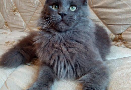 Maine Coon Maine Coon boy - Arseniy Velyka Lapa, 9 months. For breed and show