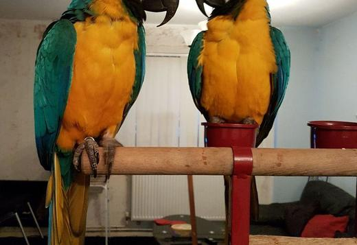 Breeding Pair Of Macaws