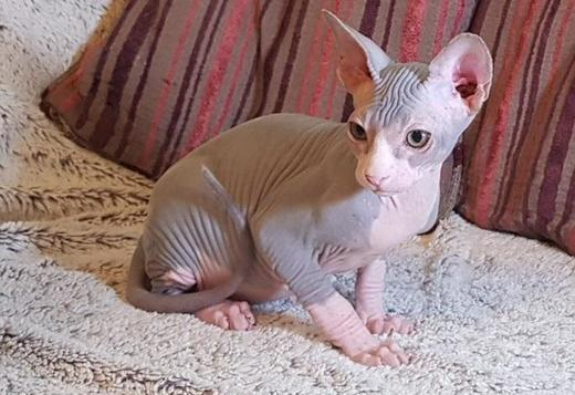 Sphynx Sphynx Kitten for Adotion~Text Only (530) 512 0091