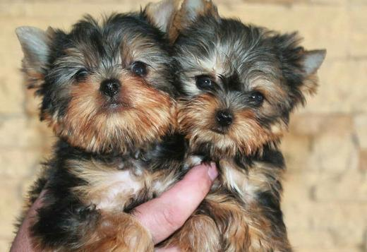 Yorkshire Terrier AKC TEACUPPPP YORKIE____ PUPPIES FOR RE HOMING