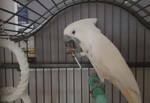 Umbrella Cockatoo Female text us at (817) 523-1584