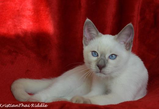 Siamese Thai kitten from Cattery Thai Riddle