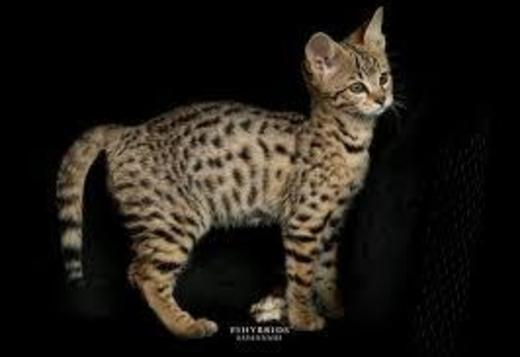 Romeo - F2 savannah kitten for sale