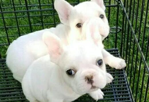 French Bulldog French bulldog