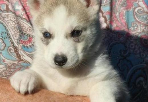 Siberian Husky Male and Female Siberian Huskies Puppies available