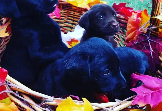 Labrador Retriever Labrador puppies