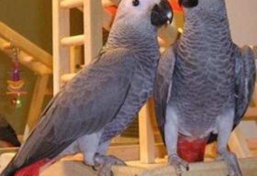 Pair of Talking congo African Grey Parrots.