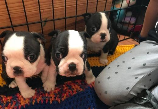 Boston Terrier Boston Terrier puppies