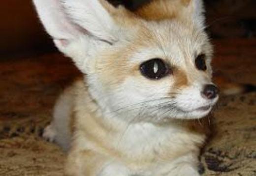 Fennec Fox For Adoption Larabague Gmail Com Exotic Animals For Sale Price