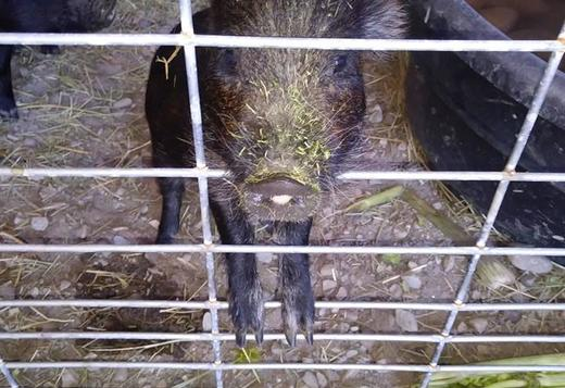 American Guinea Hogs for Sale