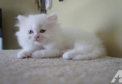 Persian Adorable Persian kitten