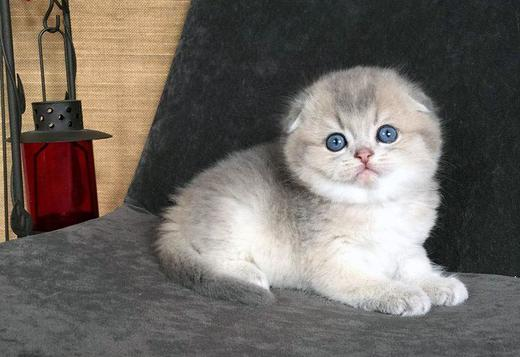 Scottish Fold Blue Golden Ticked Scottish Fold for Show,Breeding and as a pet