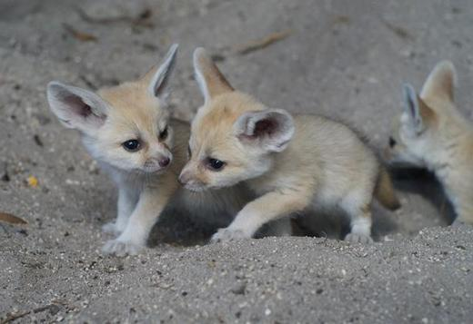 Adorable male and female Fennec Fox
