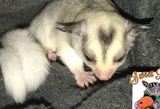 Sugar Gliders so friendly Text or call 339-970-9126