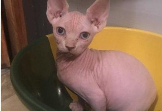 Sphynx Sphynx Young Stud For Sale