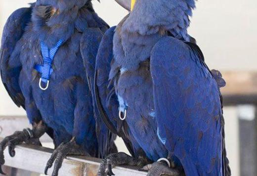 TRAINED HYACINTH MACAW PARROTS FOR REHOMING