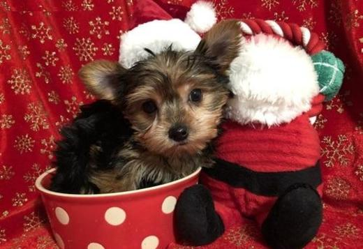 Yorkshire Terrier AKC TINY T-CUP YORKIE PUPPIES FOR X-MAS GIFT