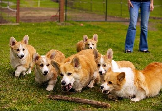 Welsh Corgi, Pembroke TOP QUALITY, CORGI PUPPIES AVAILABLE FOR SALE.