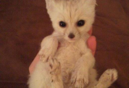 Male and female fennec fox baby for sale