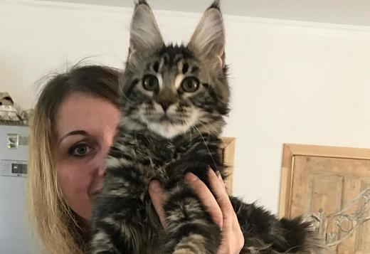 Maine Coon Adorable maine coon kittens available for xmas