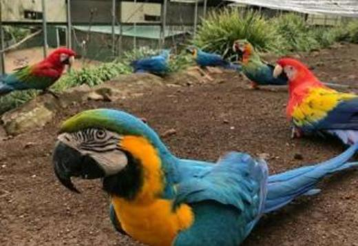 Blue & Gold, Scarlet & hyacinth macaws for sale