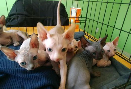 Sphynx Sphynx Kittens Barebottom Sphynx TICA CF Very Beautiful & Adorable