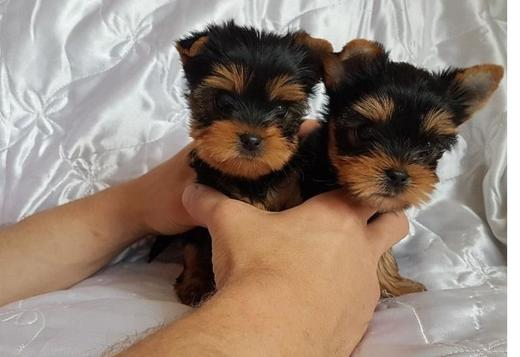 Yorkshire Terrier Veryyy Tinnyy Teacup Yorkie 13 weeks old pups ready to go ASAP