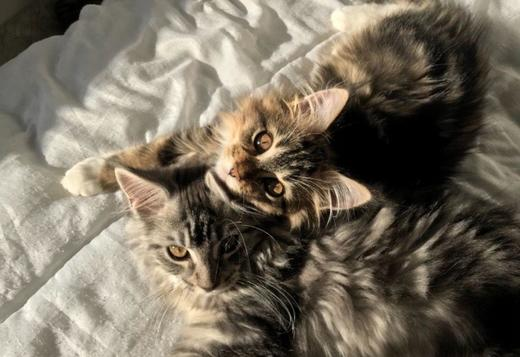 Maine Coon Tica Registered Maine Coon Kittens