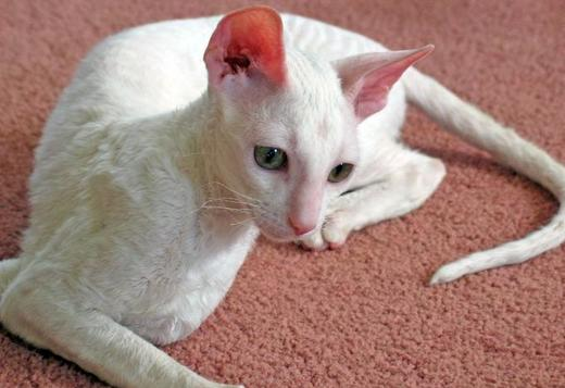 Cornish Rex playful Cornish Rex kitten, Cats and Kittens