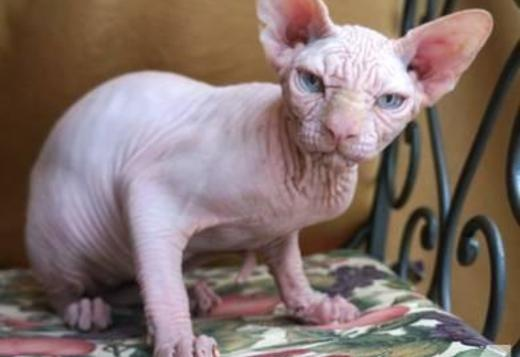Dwelf sphynx for sale, cats, for Sale, Price