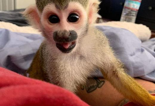 Squirrel Monkeys pet with papers And Diapers Trained